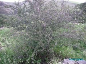 Welsh Mountain Hawthorn